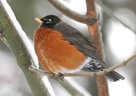 WeHaKee robin